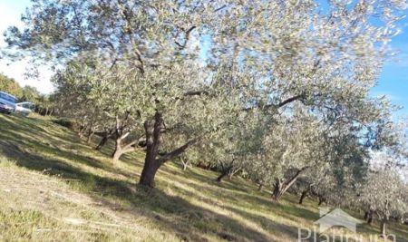 Istra , Pulj, Peruški, oljčniki 4260 m2, 59 oljke