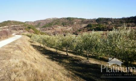 Istra, centralno, lep oljčni nasad na površini 24000m2